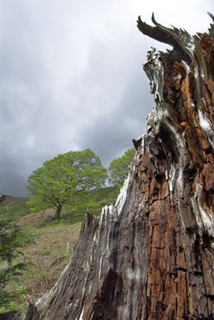 Storm Damaged in Borrowdale, Cumbria, Lake District