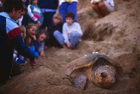 Turtle laying its eggs, in Queensland, Australia